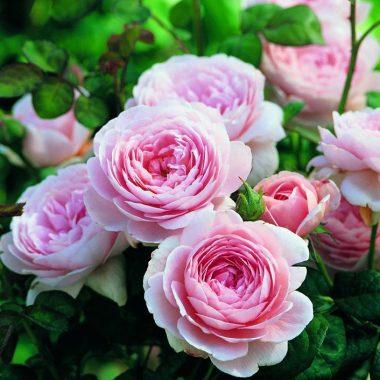 Queen of Sweden™ (Austiger) David Austin® English Roses
