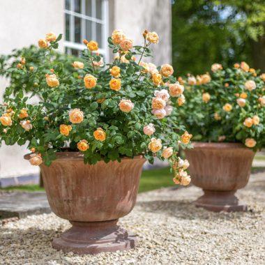 Roald Dahl (Ausowlish) David Austin® English Roses