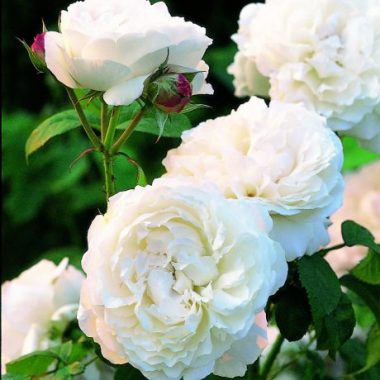 Winchester Cathedral™ (Auscat) David Austin® English Roses