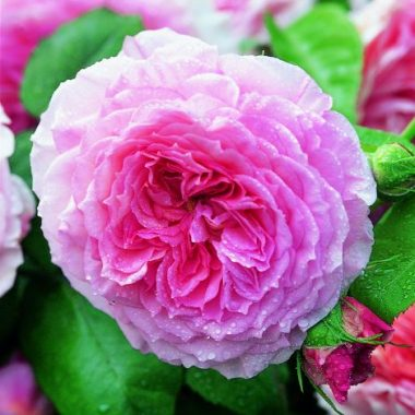 James Galway™ (Auscrystal) David Austin® English Roses