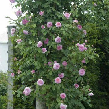 James Galway™ (Auscrystal) David Austin® English Roses