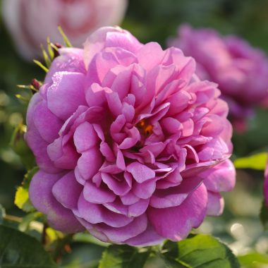 Princess Anne (Auskitchen) David Austin® English Roses