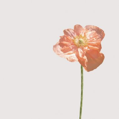 Papaver Doble Floritismo