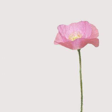 papaver simple floritismo