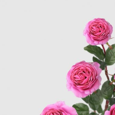 Rosal de Jardin - Meilland - Line Renaud - Floritismo
