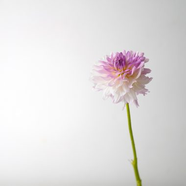 Dalia Mediana Blanca Lila - Floritismo