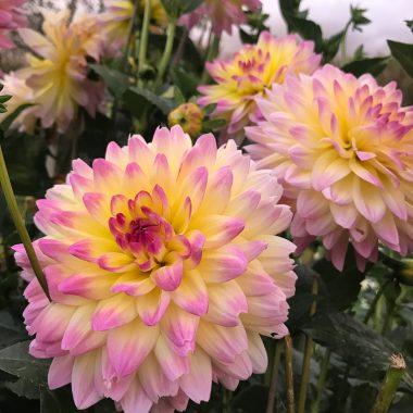 Dalia mediana Rosa Amarillo - Floritismo