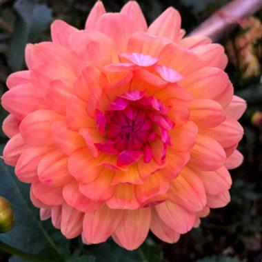 Dalia mediana coral lila - Floritismo