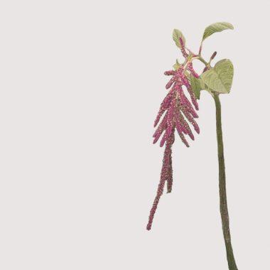 Amaranthus Floritismo