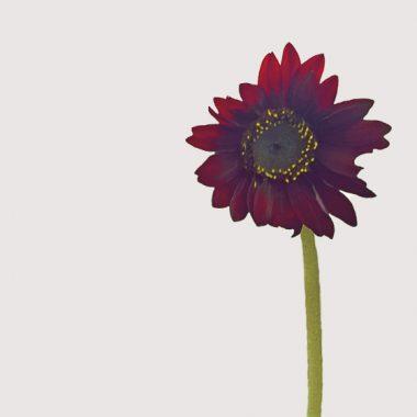 girasol marron floritismo