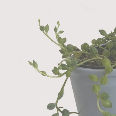 senecio floritismo