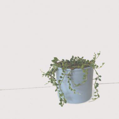 planta senecio floritismo