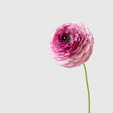 Ranunculos lila estriado Floritismo
