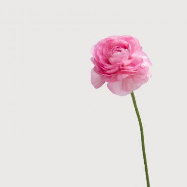 Ranunculo Rosa Medio Floritismo
