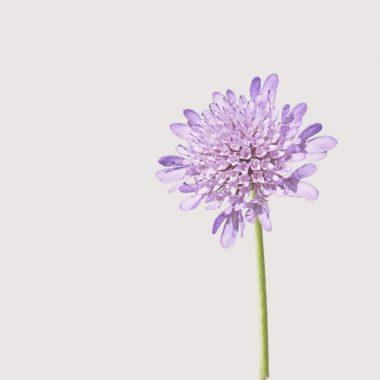 Escabiosa Floritismo