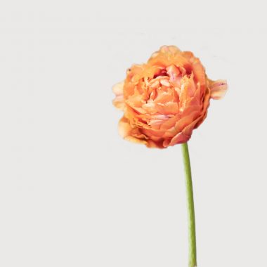 Bulbos Tulipan Doble Deschilachado Floritismo