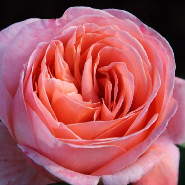 Rosal de Jardín - Mademoiselle Melland Salmon -Floritismo