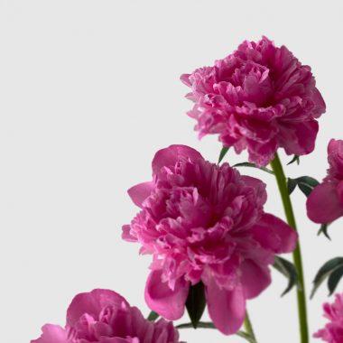Peonia Alexander Fleming - Floritismo