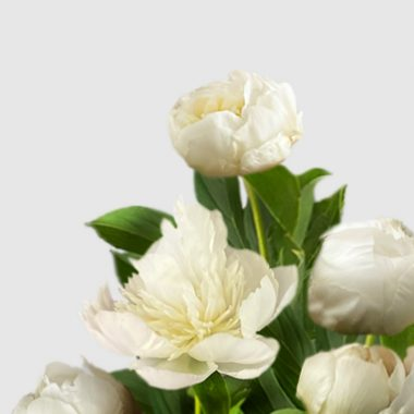 Peonia Duchesse de Nemours - Floritismo