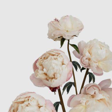 Peonia Gardenia - Floritismo