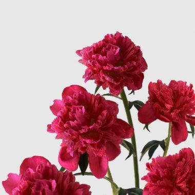 Peonia Karl Rosenfield - Floritismo