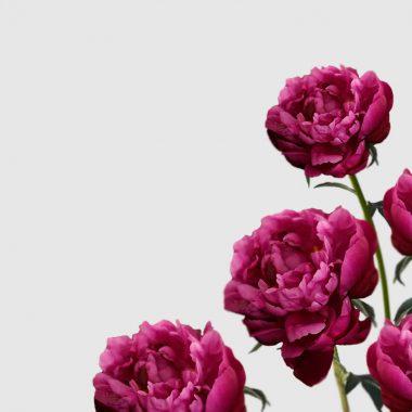 Peonia Red Sarah Bernhardt - Floritismo