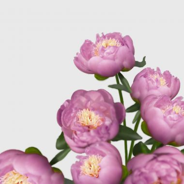 Peonia Bowl of Beauty - Floritismo