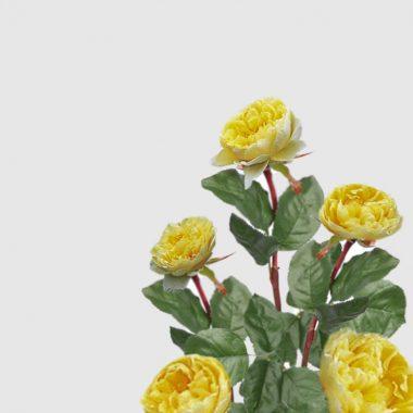 Rosal Ingles Charlotte - David Austin - Floritismo