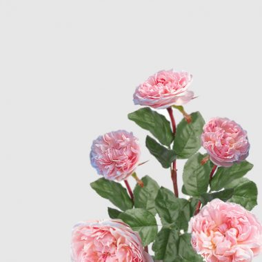 Rosal Ingles Eglantyne - David Austin - Floritismo