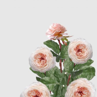 Rosal Ingles Shropshire - David Austin - Floritismo