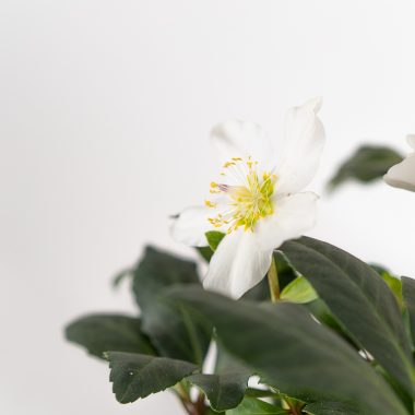 Helleborus Niger Blanco - Floritismo