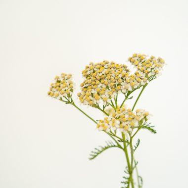 Achilea - Floritismo