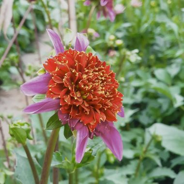 Dalia Anemona Rosa Granate - Floritismo
