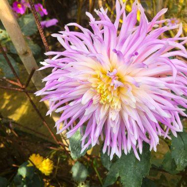 Dalia Cactus Lila - Floritismo