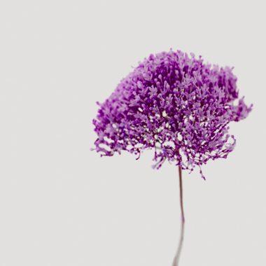 Trachelium Floritismo