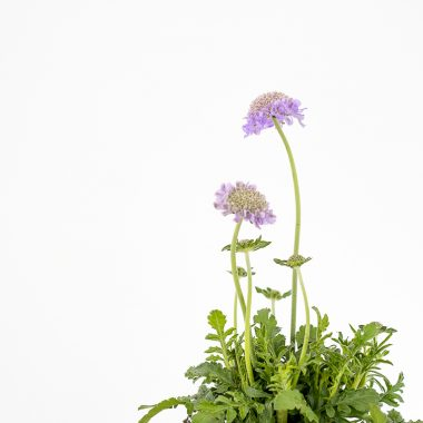Scabiosa Pincusion Maceta - Floritismo